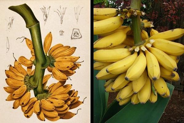 El fruto de la Musa acuminata, platanera, es una baya de color verde que crece en gorma de racimos