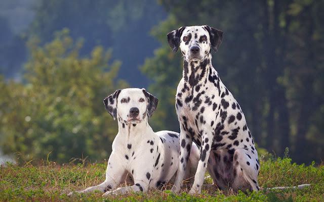 Twee mooie dalmatiërs samen op de foto