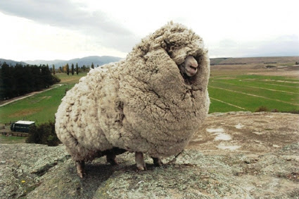 Laugh-Cry at These Sheep with Me