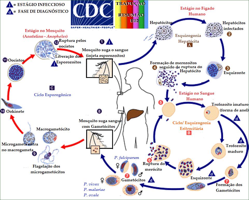 a malária plazmodium kialakulásának vázlata férgek okozta fejfájás