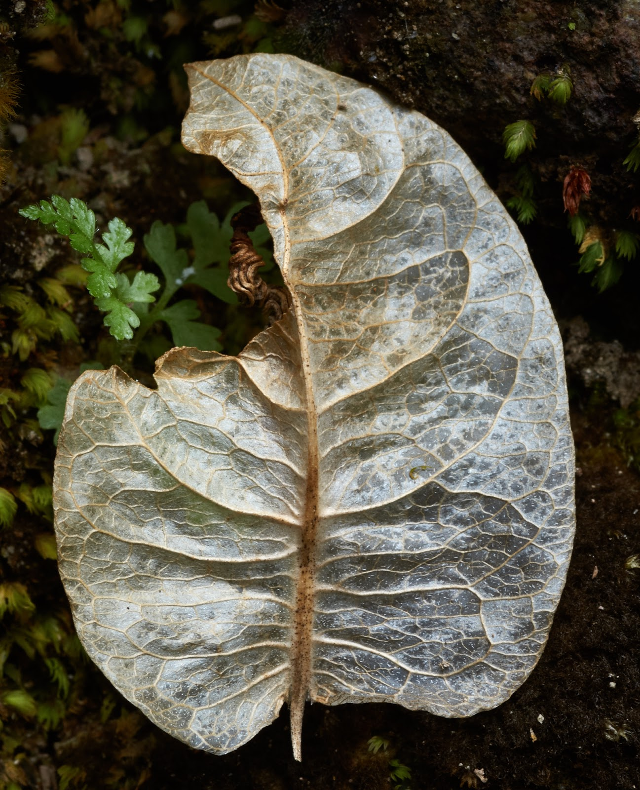 desiccated bougainvillea leaf, macro photography, beauty,Philippines