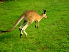 Mengenal Hewan Kangguru (Kanguru), Hewan Berkantung khas Australia