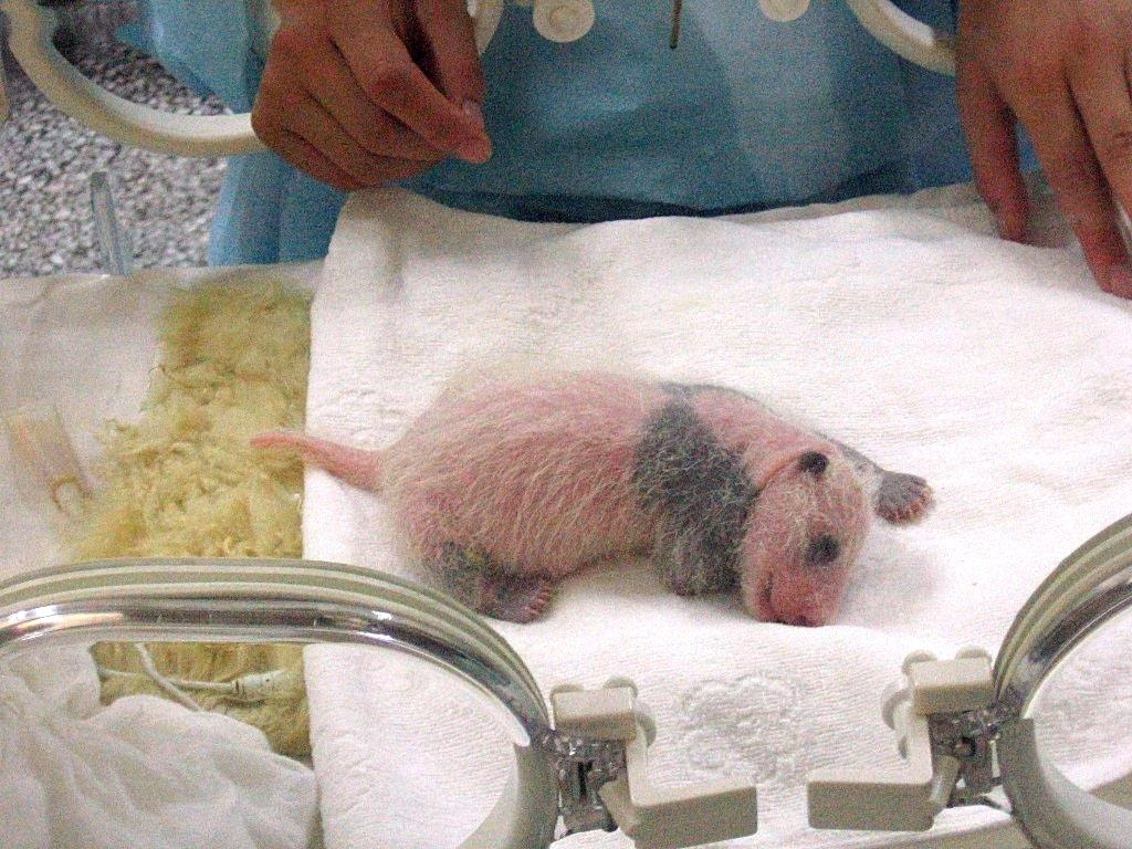 保育器の中で寝ている生後一週間ほどの赤ちゃんパンダ