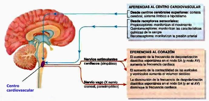 Gasto cardíaco y regulación de la frecuencia cardíaca