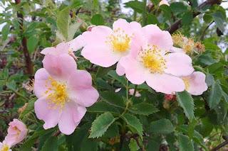 Цветок имени Лариса шиповник