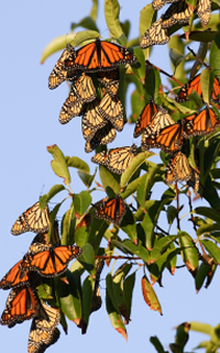 Monarch butterfly migration tree - photo#55