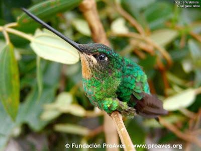 colibri del sol Coeligena orina