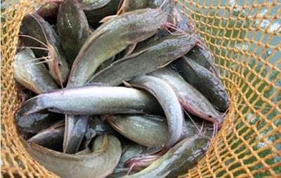 Budidaya Ikan Lele Yang Menguntungkan - Cara Budidaya Ikan Lele