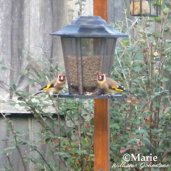 song birds Goldfinches on feeder eating sunflower seeds