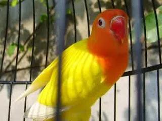 lovebird indah