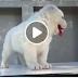 ขายลูกสุนัข Central Asian Shepherd