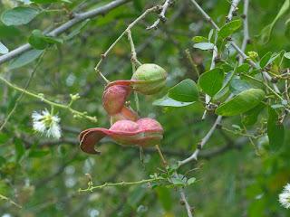 Pithecellobium dulce - Tamarin d'Inde