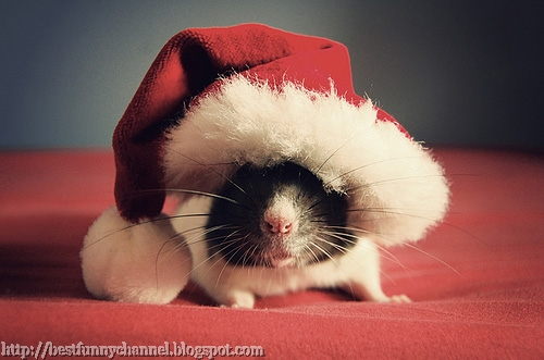 Funny Guinea pig in red cap.