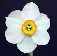 'Shaws Legacy' Daffodil