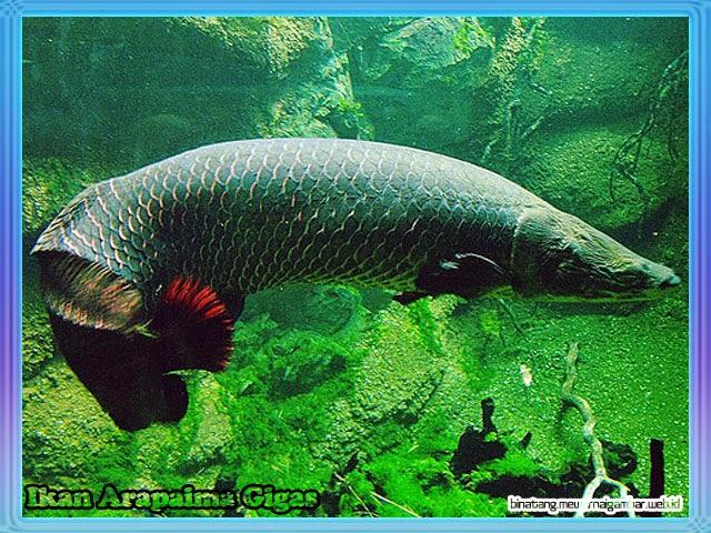 gambar ikan arapaima