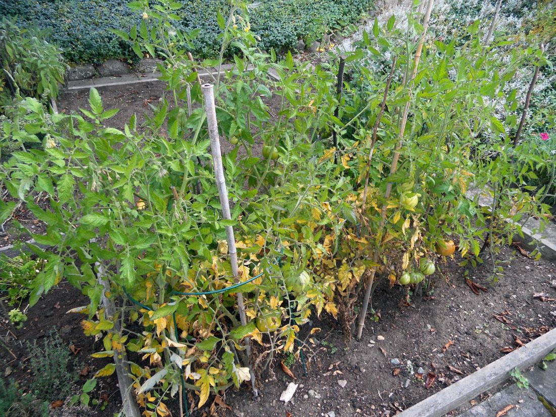 Pomodori nel mio orto
