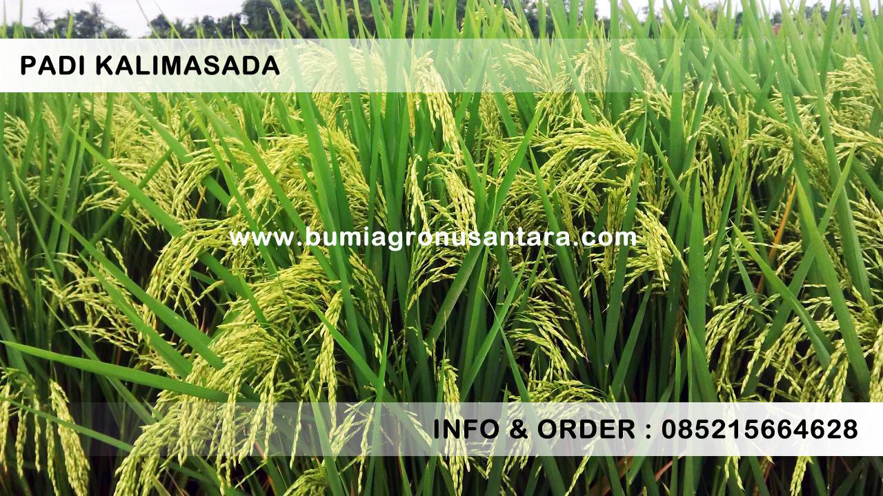 Benih Padi Kalimasada Gabah Berkualitas | Bumi Agro Nusantara