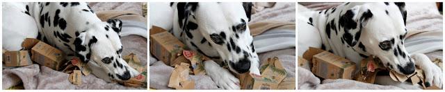 Dalmatian dog ripping apart cardboard boxes