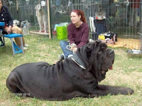 Anjing raksasa
