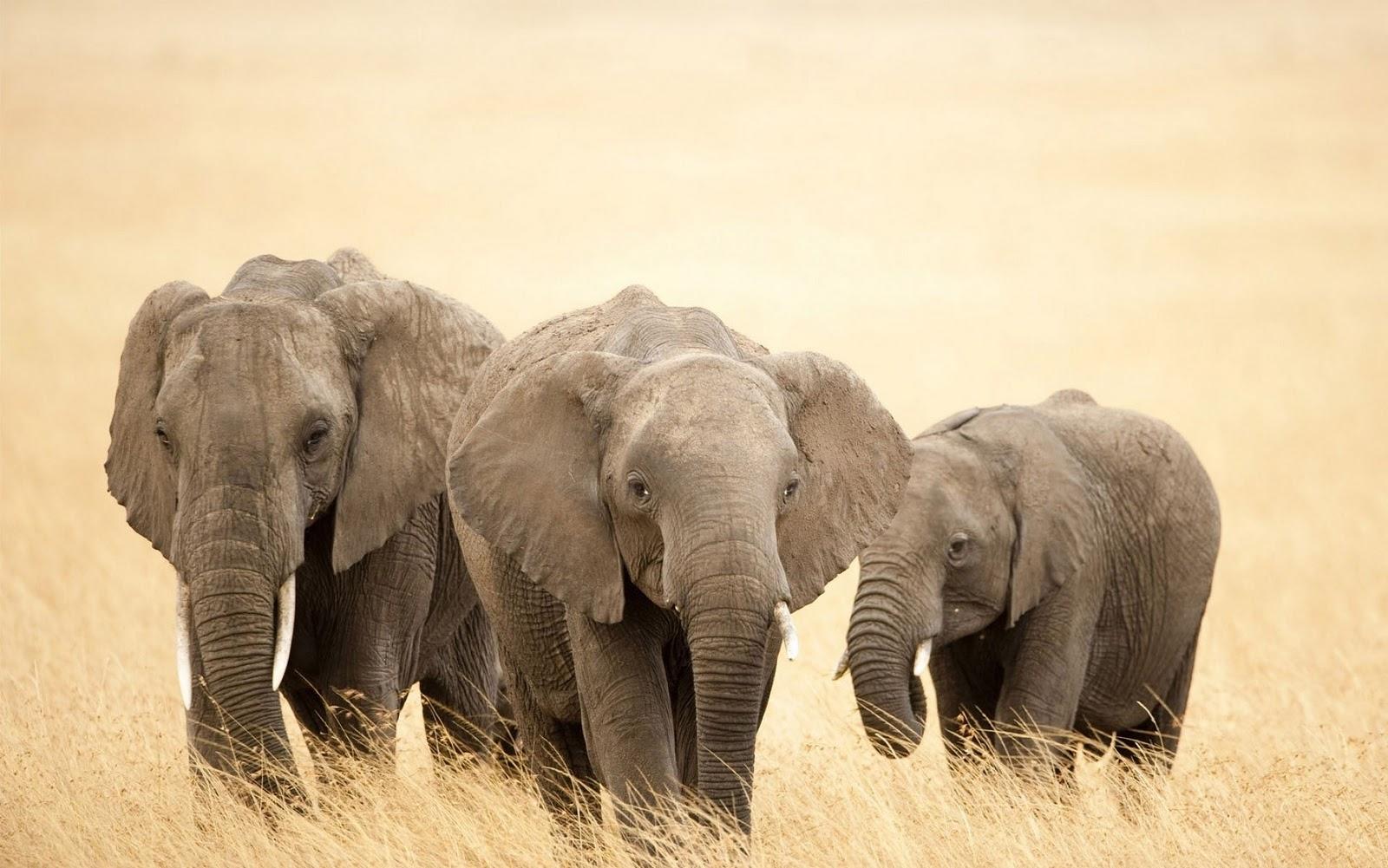 elephants wallpapers world - photo #2