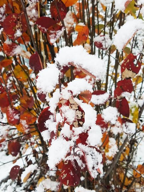 кустик ирги и первый снег...