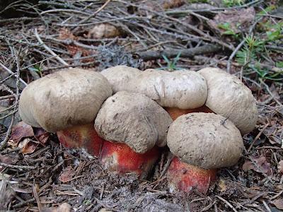 grzyby w czerwcu, grzyby na Orawie, grzyby na Babiej, borowik ceglastopory Boletus luridoformis, muchomor czerwonawy Amanita rubescens, borowikgrubotrzonowy Boletus calopus, muchomor twardawy Amanita spissa