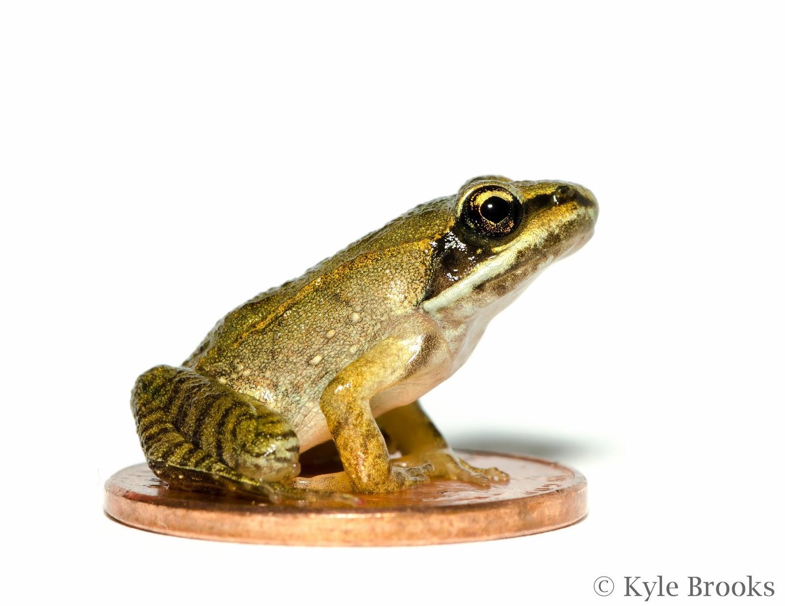 Wood Frog Photo