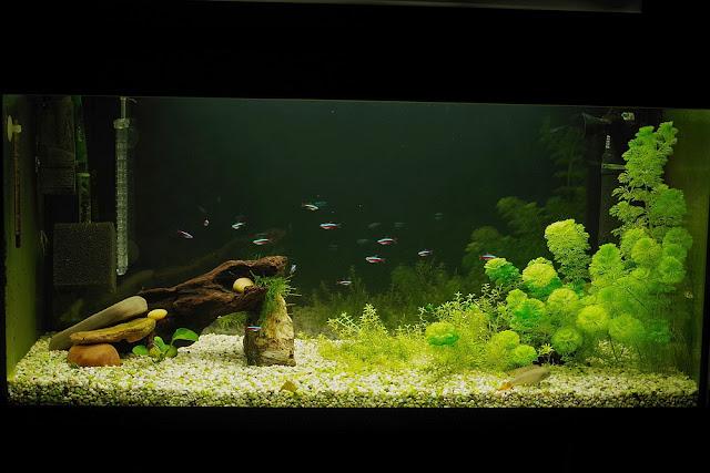 rybki akwariowe neon czerwony