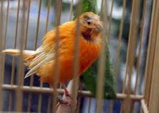 kebotakan pada lovebird, kebotakan lovebird, lovebird botak