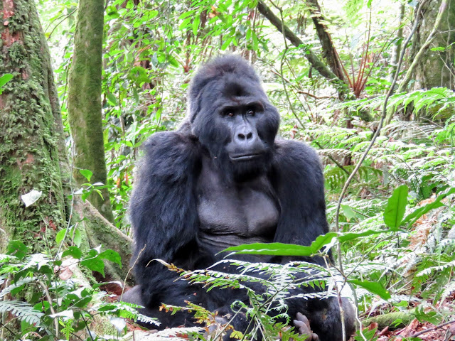 Beta male in the Nkuringo family of Mountain Gorillas in Uganda