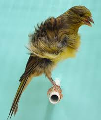 Burung Unik Northern Dutch Frilled Canary