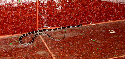 Lycodon aulicus, Indian Wolf Snake, snake inside the house