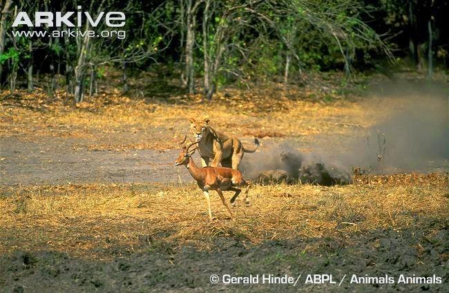 Lion attack Impala