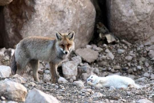 cat and fox best friends