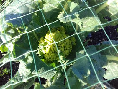 Allotment Crops - Romanescu