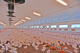 Brooding & Growout - Prestage Farms, Inc.Prestage Farms