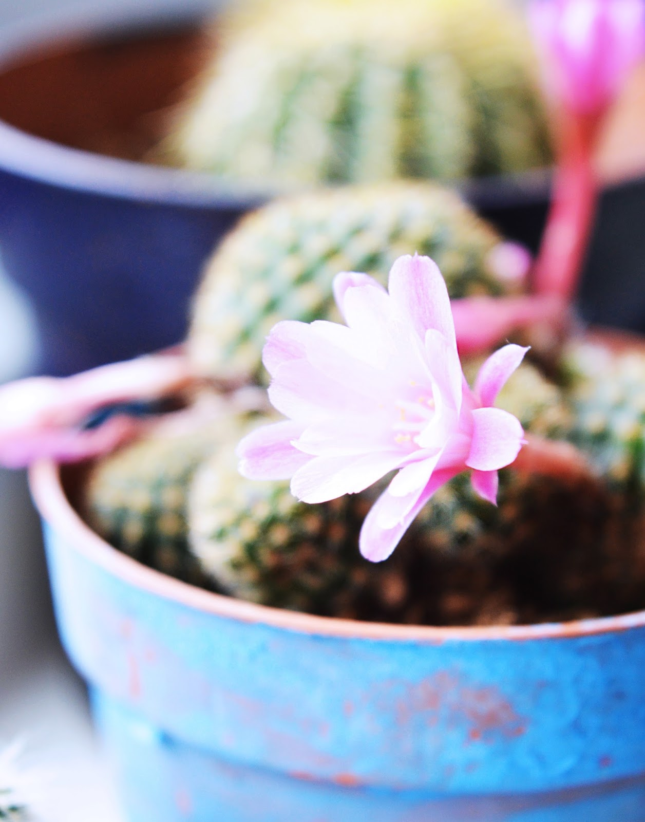 ball shaped cactus with pink flowers