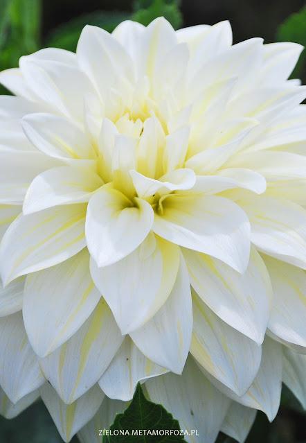 biała dalia ogród wiejski