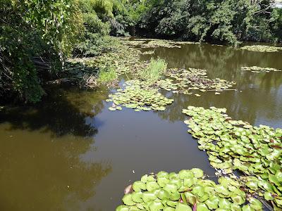 【池の水ぜんぶ抜く】アリゲーターガーがいた寝屋川市の山新池