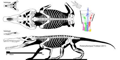 Proterochampsa skeleton
