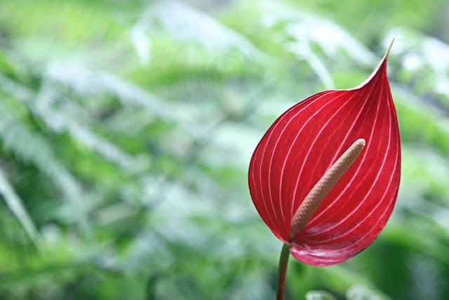 Red peace lily flower on a green background
