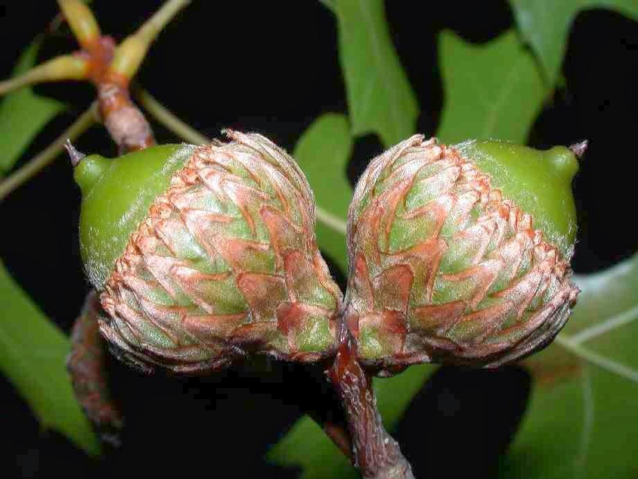 scarlet oak acorns acorns of scarlet oak seeds of scarletQuercus Coccinea Acorn