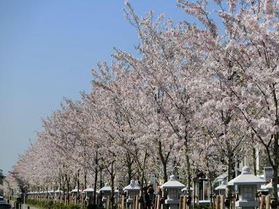 鶴岡八幡宮段葛の桜