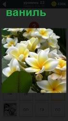 Изображение популярной орхидеи ваниль. Прекрасное декоративное растение с сочными листьями, выращенное в горшке.