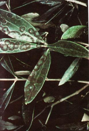 maladie sur les oliviers
