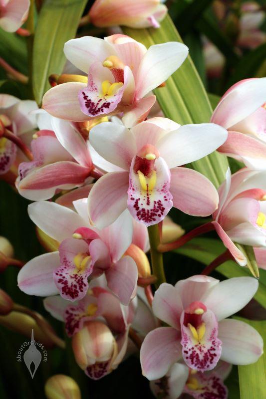 Huệ Lan Đại Hoa rất đẹp nhưng không dễ ra hoa
