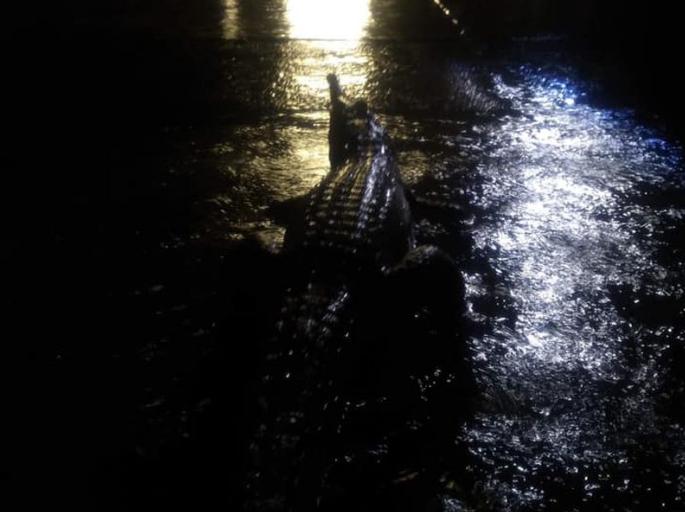 Alluvione Australia: Enormi coccodrilli invadono le strade durante l'incredibile inondazione.