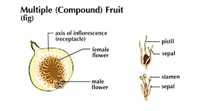 compound fruit pictures