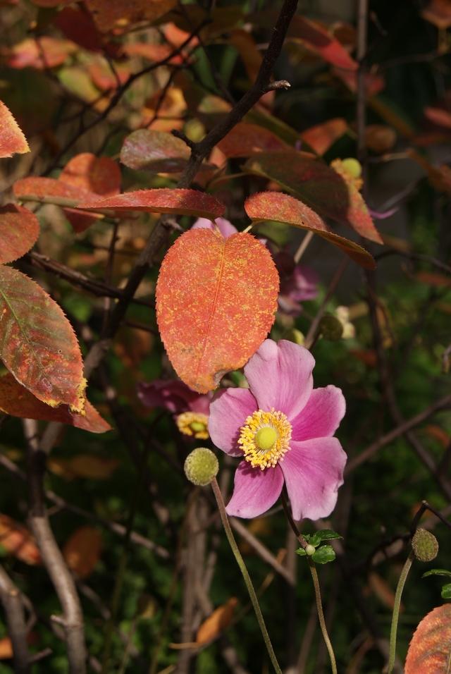 Herbstanemone und Felsenbirne mit Herbstlaub