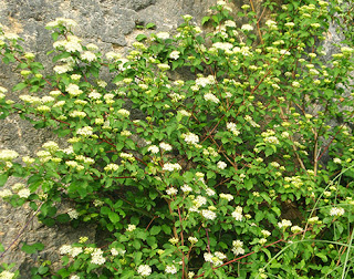 Cornejo (Cornus sanguinea)